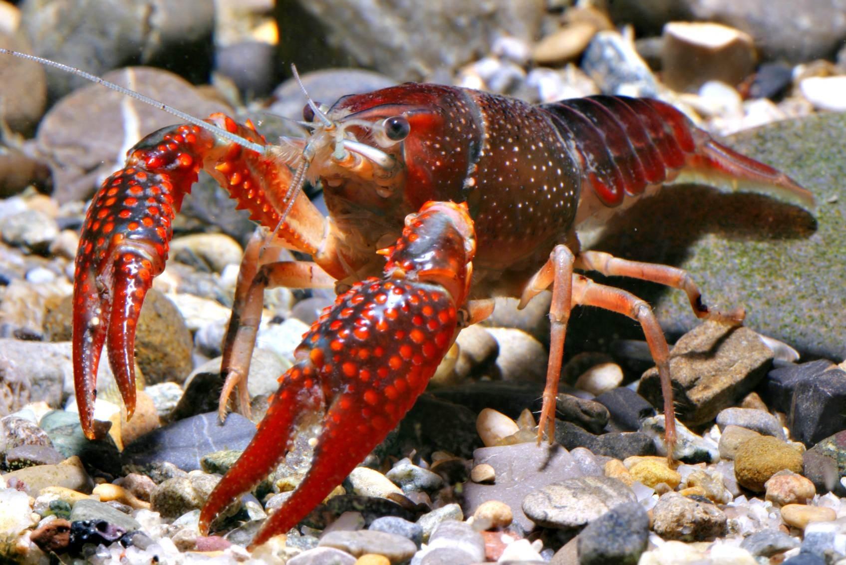 Procambarus